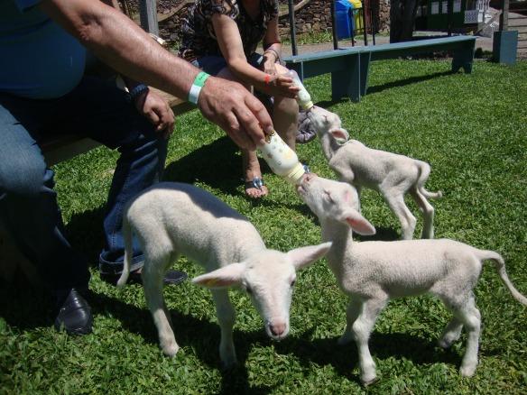 É muita fofura dar mamadeira para as ovelhinhas. Foto: Kelly Pelisser