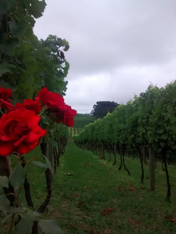 Parreiral e rosas na Vinícola Larentis